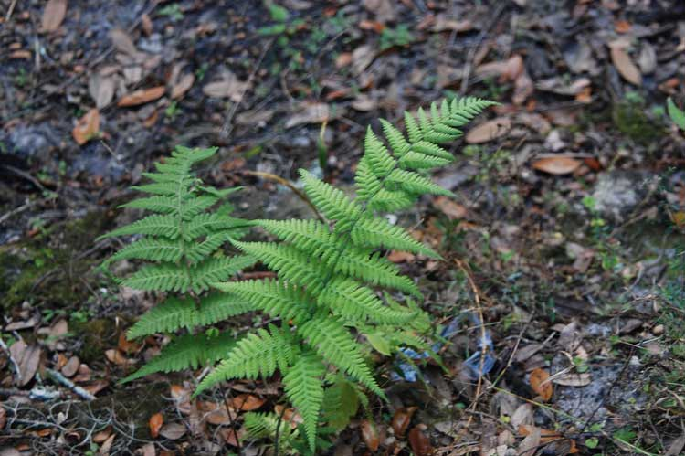 An attraction for ferns