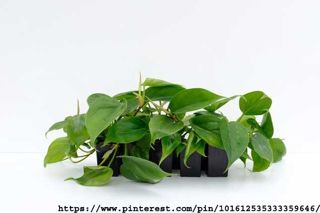 Philodendron-Hedraceum