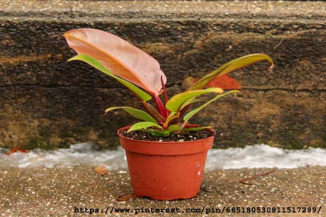 Philodendron-Prince-of-Oran